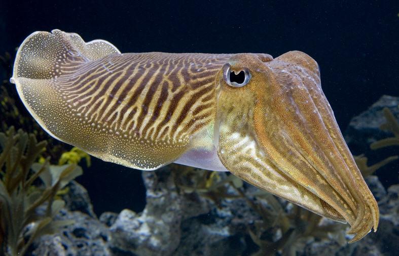 Buy Cuttlefish