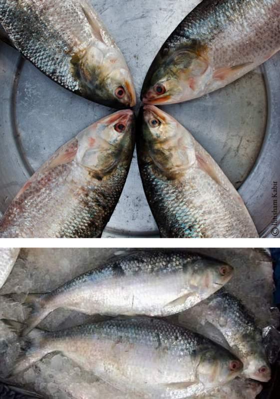 Buy Hilsa Fish