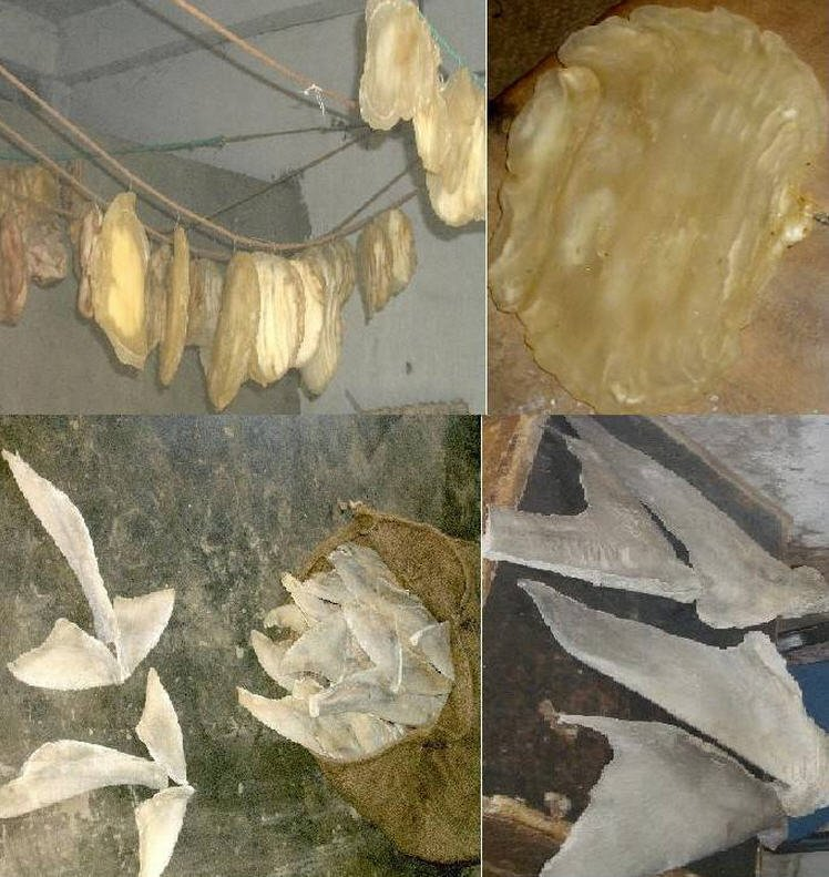 Buy Dried Fish Maws
