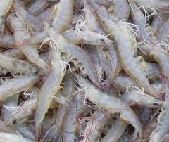 White Prawn Shrimps